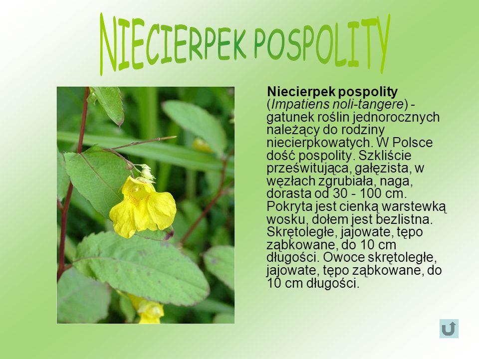 Niecierpek pospolity (Impatiens noli-tangere) - gatunek roślin jednorocznych należący do rodziny niecierpkowatych. W Polsce dość pospolity. Szkliście