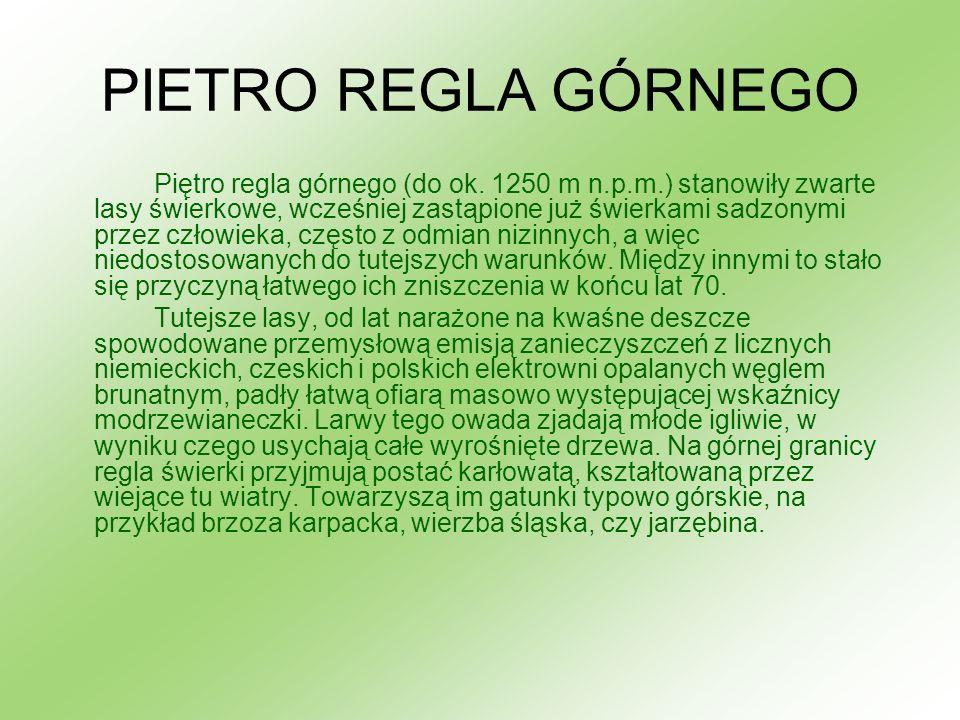 PIETRO REGLA GÓRNEGO Piętro regla górnego (do ok. 1250 m n.p.m.) stanowiły zwarte lasy świerkowe, wcześniej zastąpione już świerkami sadzonymi przez c