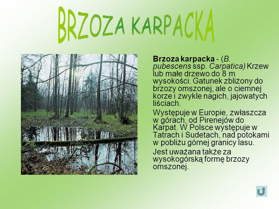 Brzoza karpacka - (B. pubescens ssp. Carpatica) Krzew lub małe drzewo do 8 m wysokości. Gatunek zbliżony do brzozy omszonej, ale o ciemnej korze i zwy