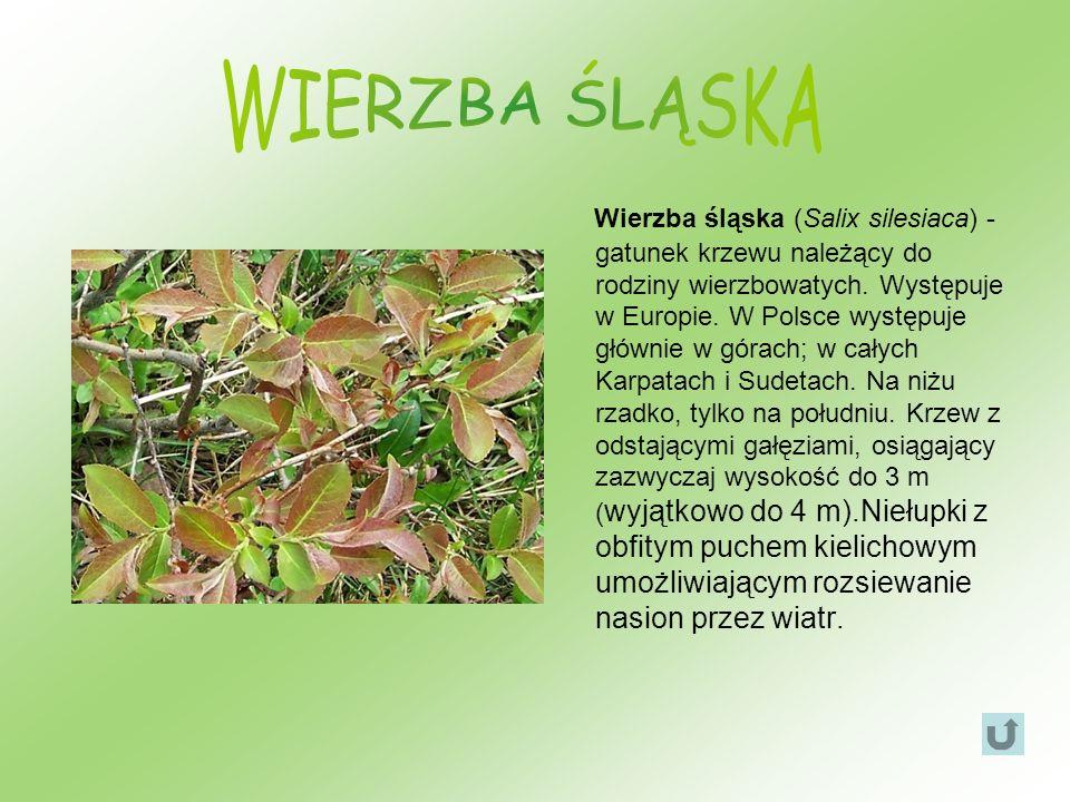 Wierzba śląska (Salix silesiaca) - gatunek krzewu należący do rodziny wierzbowatych. Występuje w Europie. W Polsce występuje głównie w górach; w całyc