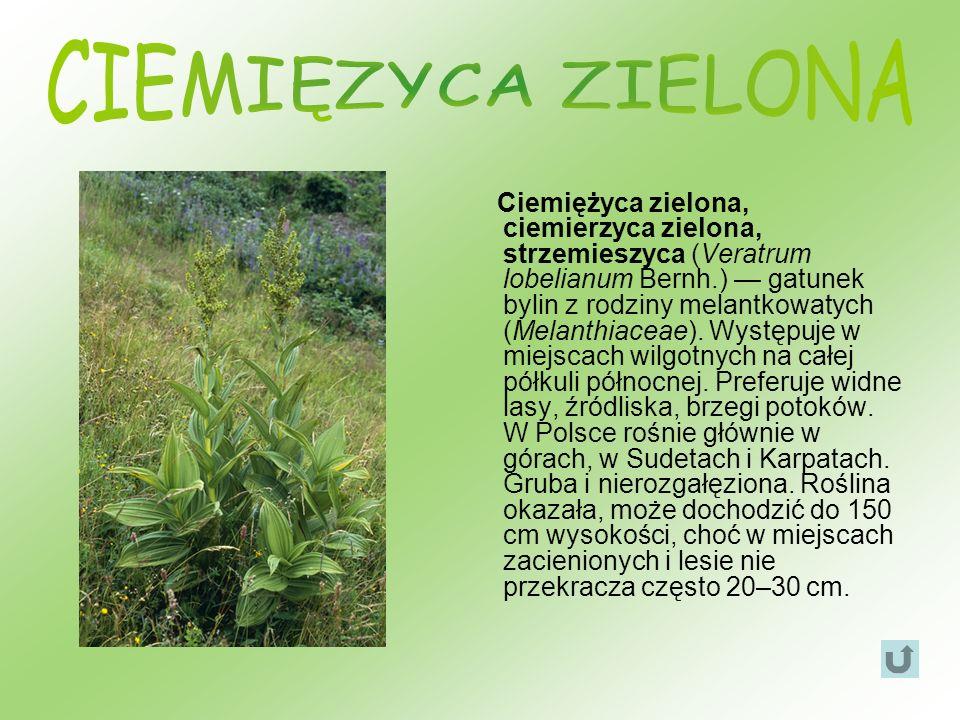 Ciemiężyca zielona, ciemierzyca zielona, strzemieszyca (Veratrum lobelianum Bernh.) gatunek bylin z rodziny melantkowatych (Melanthiaceae). Występuje