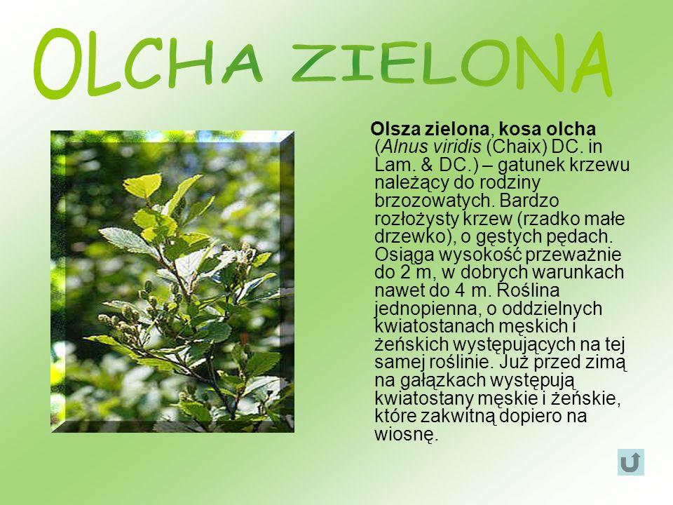 Olsza zielona, kosa olcha (Alnus viridis (Chaix) DC. in Lam. & DC.) – gatunek krzewu należący do rodziny brzozowatych. Bardzo rozłożysty krzew (rzadko