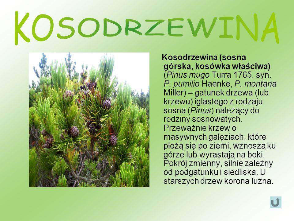 Kosodrzewina (sosna górska, kosówka właściwa) (Pinus mugo Turra 1765, syn. P. pumilio Haenke, P. montana Miller) – gatunek drzewa (lub krzewu) iglaste