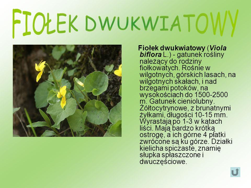 Fiołek dwukwiatowy (Viola biflora L.) - gatunek rośliny należący do rodziny fiołkowatych. Rośnie w wilgotnych, górskich lasach, na wilgotnych skałach,