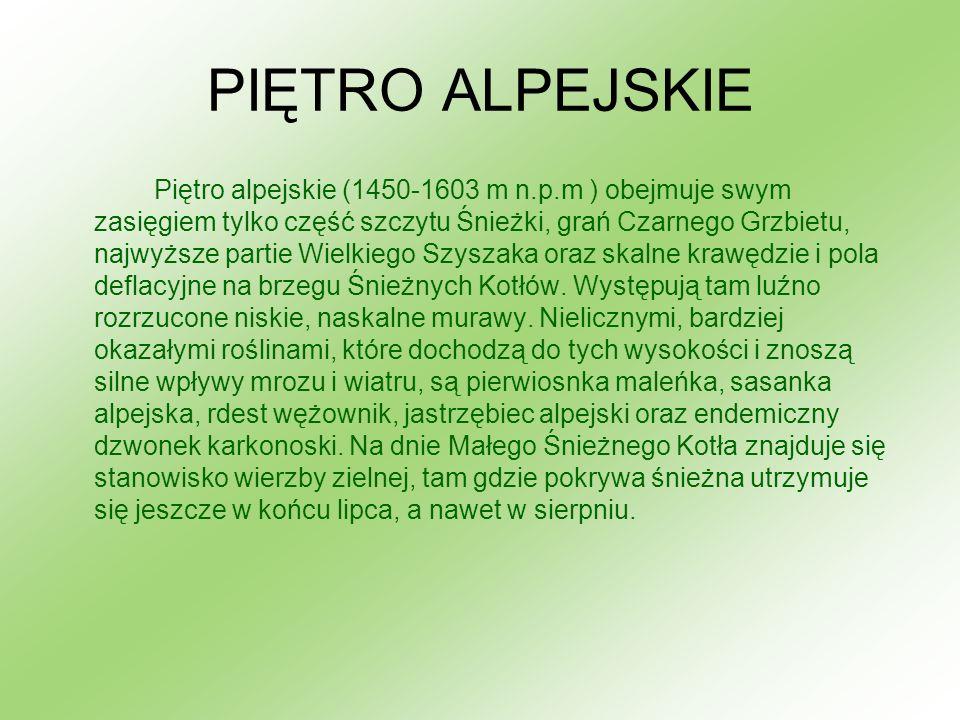 PIĘTRO ALPEJSKIE Piętro alpejskie (1450-1603 m n.p.m ) obejmuje swym zasięgiem tylko część szczytu Śnieżki, grań Czarnego Grzbietu, najwyższe partie W