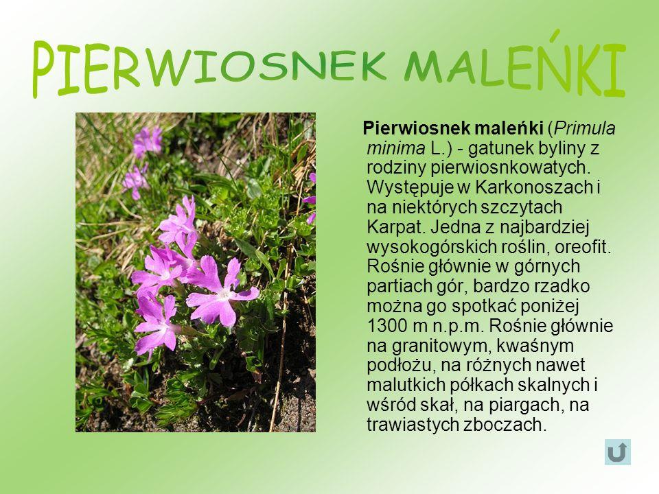 Pierwiosnek maleńki (Primula minima L.) - gatunek byliny z rodziny pierwiosnkowatych. Występuje w Karkonoszach i na niektórych szczytach Karpat. Jedna
