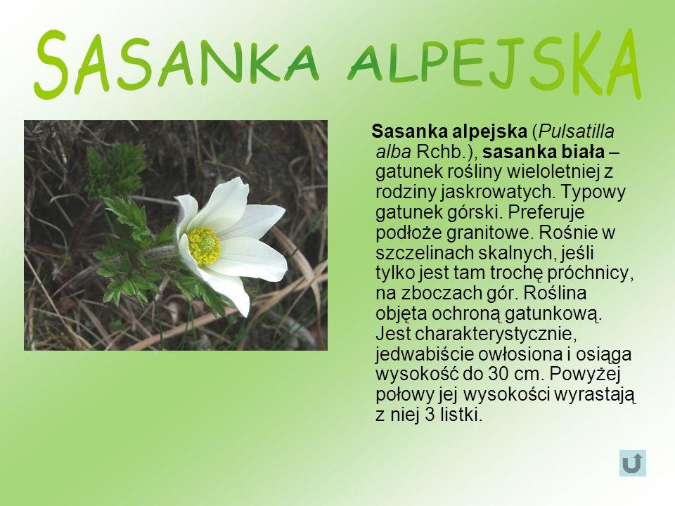 Sasanka alpejska (Pulsatilla alba Rchb.), sasanka biała – gatunek rośliny wieloletniej z rodziny jaskrowatych. Typowy gatunek górski. Preferuje podłoż