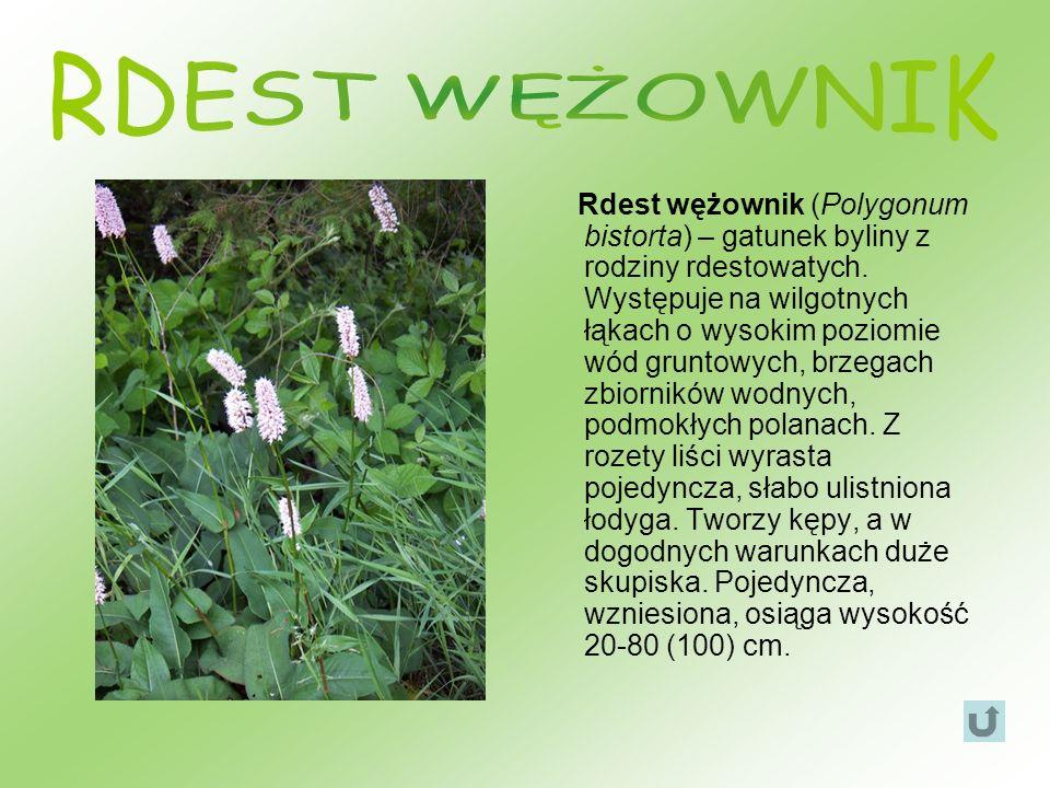 Rdest wężownik (Polygonum bistorta) – gatunek byliny z rodziny rdestowatych. Występuje na wilgotnych łąkach o wysokim poziomie wód gruntowych, brzegac