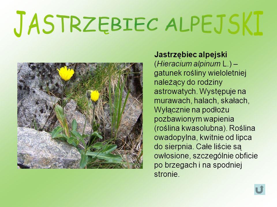 Jastrzębiec alpejski (Hieracium alpinum L.) – gatunek rośliny wieloletniej należący do rodziny astrowatych. Występuje na murawach, halach, skałach, Wy