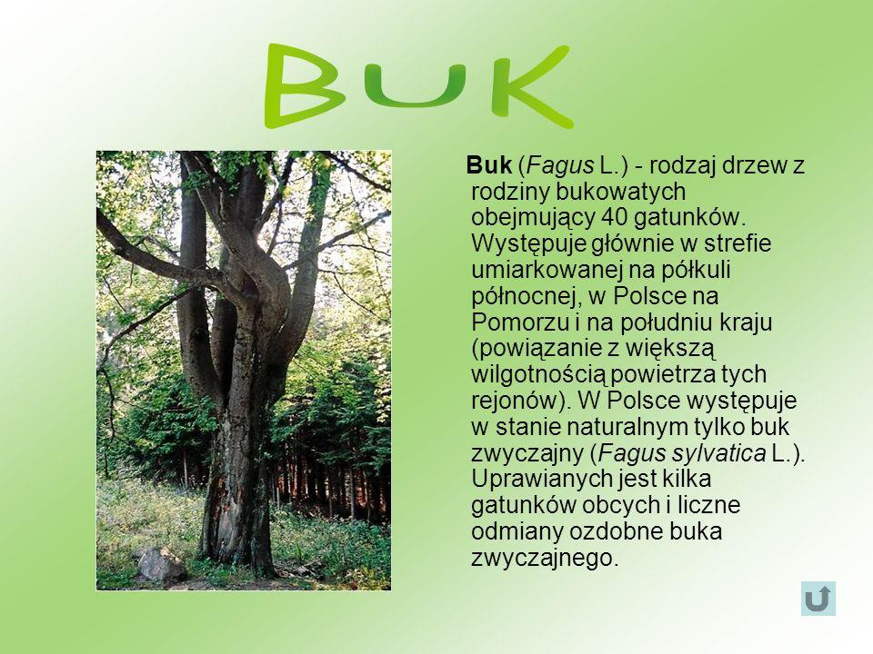Buk (Fagus L.) - rodzaj drzew z rodziny bukowatych obejmujący 40 gatunków. Występuje głównie w strefie umiarkowanej na półkuli północnej, w Polsce na
