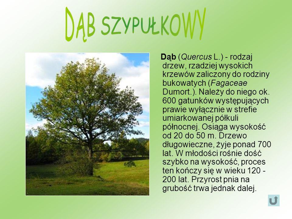Dąb (Quercus L.) - rodzaj drzew, rzadziej wysokich krzewów zaliczony do rodziny bukowatych (Fagaceae Dumort.). Należy do niego ok. 600 gatunków występ