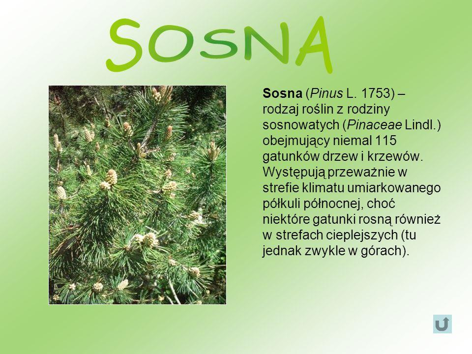 Sosna (Pinus L. 1753) – rodzaj roślin z rodziny sosnowatych (Pinaceae Lindl.) obejmujący niemal 115 gatunków drzew i krzewów. Występują przeważnie w s