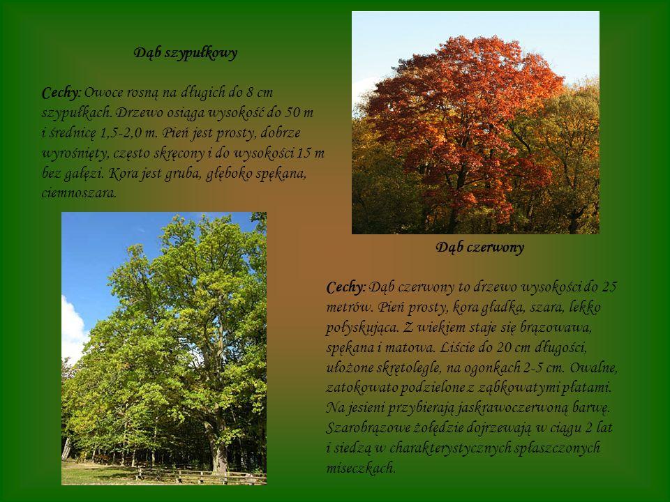 Dąb szypułkowy Cechy: Owoce rosną na długich do 8 cm szypułkach. Drzewo osiąga wysokość do 50 m i średnicę 1,5-2,0 m. Pień jest prosty, dobrze wyrośni