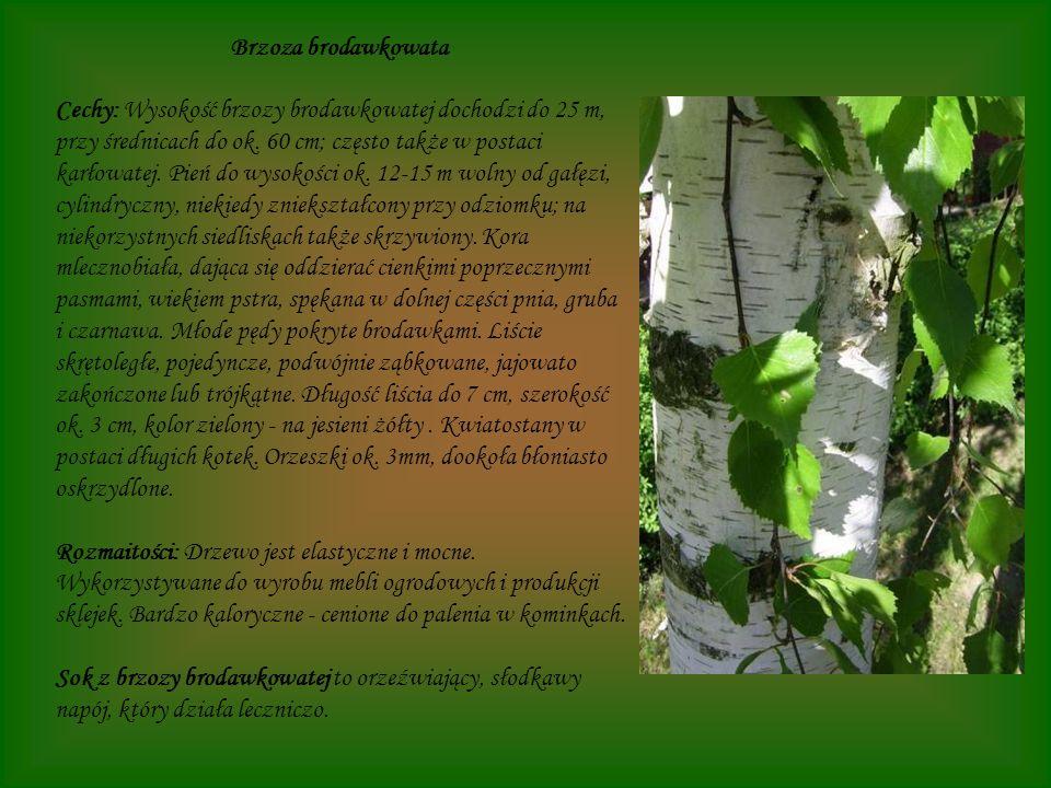 Brzoza brodawkowata Cechy: Wysokość brzozy brodawkowatej dochodzi do 25 m, przy średnicach do ok. 60 cm; często także w postaci karłowatej. Pień do wy