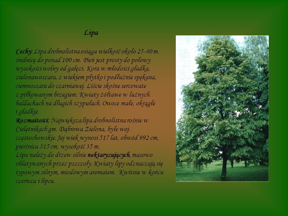 Lipa Cechy: Lipa drobnolistna osiąga wielkość około 25-40 m. średnicę do ponad 100 cm. Pień jest prosty do połowy wysokości wolny od gałęzi. Kora w mł