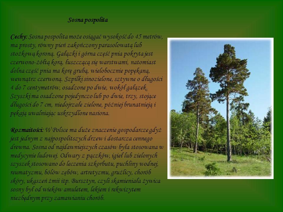 Sosna pospolita Cechy: Sosna pospolita może osiągać wysokość do 45 metrów, ma prosty, równy pień zakończony parasolowatą lub stożkową koroną. Gałązki