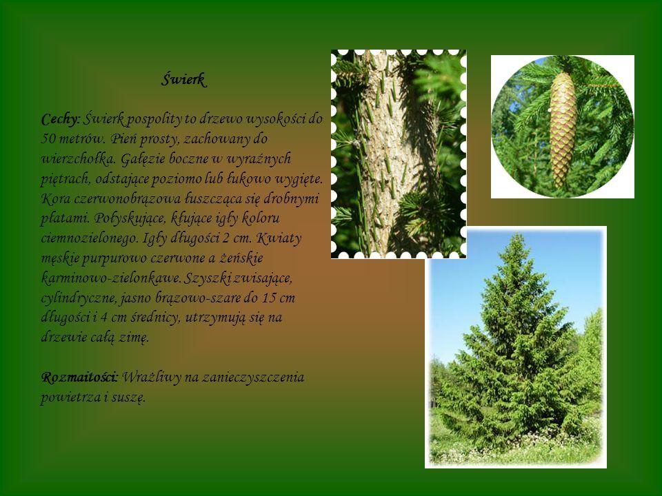 Świerk Cechy: Świerk pospolity to drzewo wysokości do 50 metrów. Pień prosty, zachowany do wierzchołka. Gałęzie boczne w wyraźnych piętrach, odstające