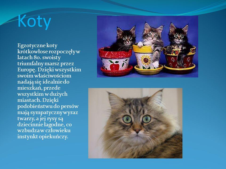 Koty Egzotyczne koty krótkowłose rozpoczęły w latach 80. swoisty triumfalny marsz przez Europę. Dzięki wszystkim swoim właściwościom nadają się idealn