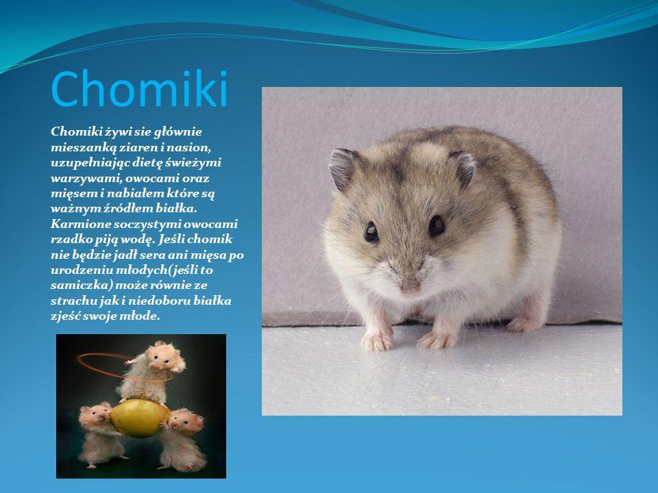 Chomiki Chomiki żywi sie głównie mieszanką ziaren i nasion, uzupełniając dietę świeżymi warzywami, owocami oraz mięsem i nabiałem które są ważnym źród