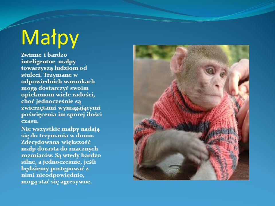 Małpy Zwinne i bardzo inteligentne małpy towarzyszą ludziom od stuleci. Trzymane w odpowiednich warunkach mogą dostarczyć swoim opiekunom wiele radośc