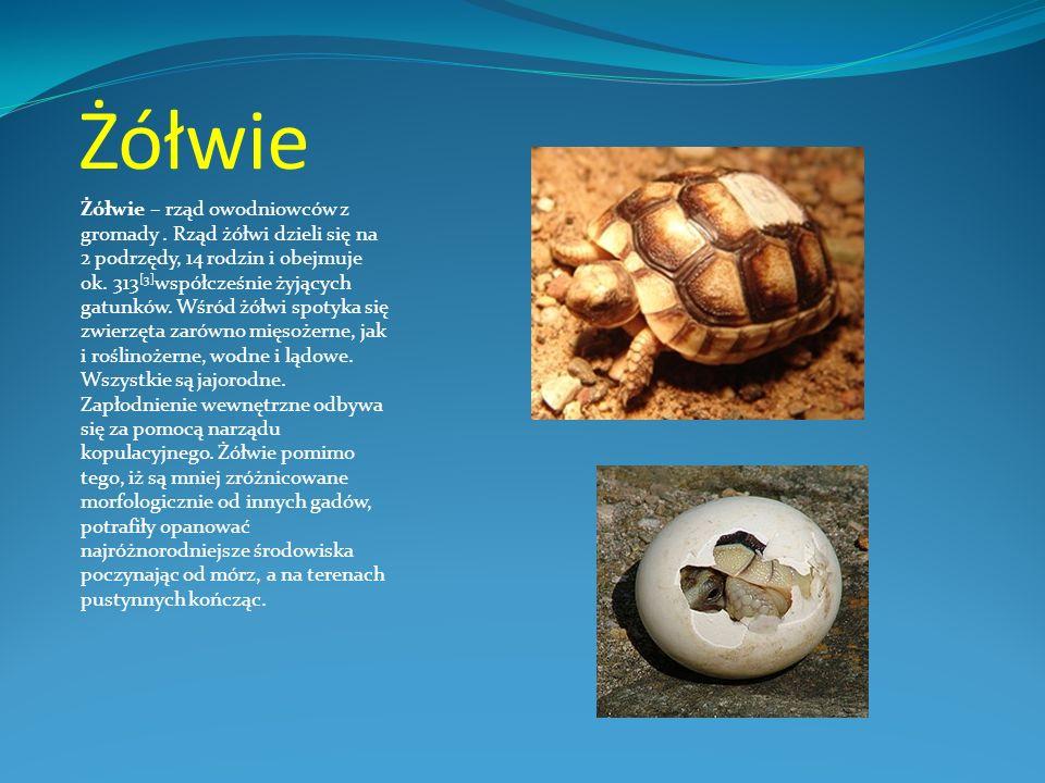 Żółwie Żółwie – rząd owodniowców z gromady. Rząd żółwi dzieli się na 2 podrzędy, 14 rodzin i obejmuje ok. 313 [3] współcześnie żyjących gatunków. Wśró