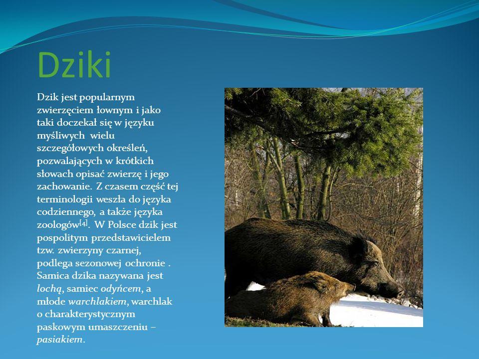 Dziki Dzik jest popularnym zwierzęciem łownym i jako taki doczekał się w języku myśliwych wielu szczegółowych określeń, pozwalających w krótkich słowa