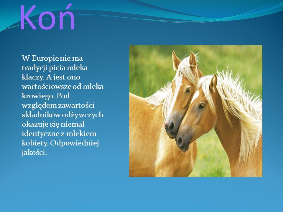 Koń W Europie nie ma tradycji picia mleka klaczy. A jest ono wartościowsze od mleka krowiego. Pod względem zawartości składników odżywczych okazuje si