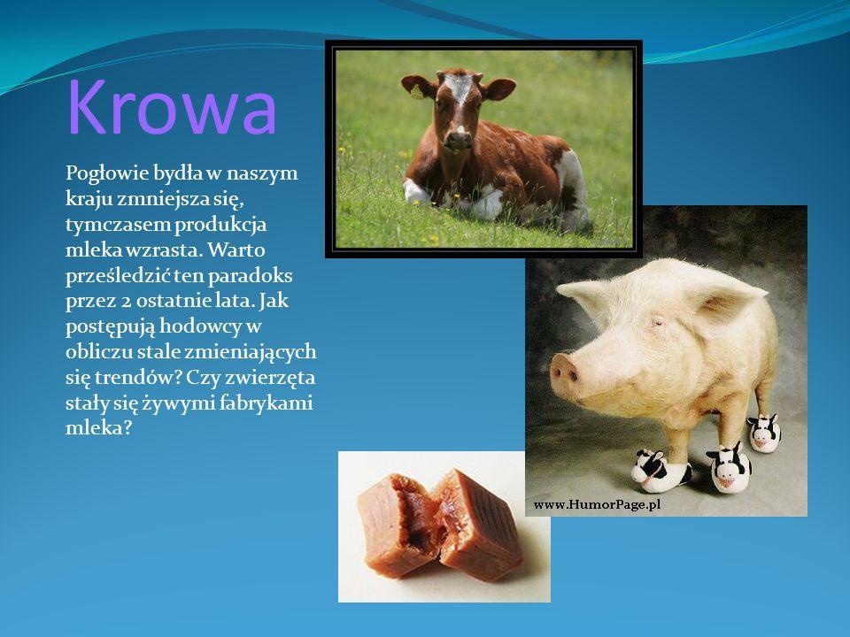 Krowa Pogłowie bydła w naszym kraju zmniejsza się, tymczasem produkcja mleka wzrasta. Warto prześledzić ten paradoks przez 2 ostatnie lata. Jak postęp