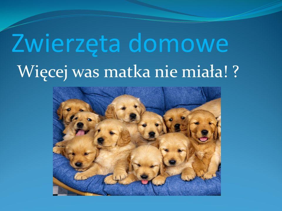 Pieski Jedna z ras psów, należąca do grupy psów w typie pinczera i sznaucera, szwajcarskich psów pasterskich i innych ras.