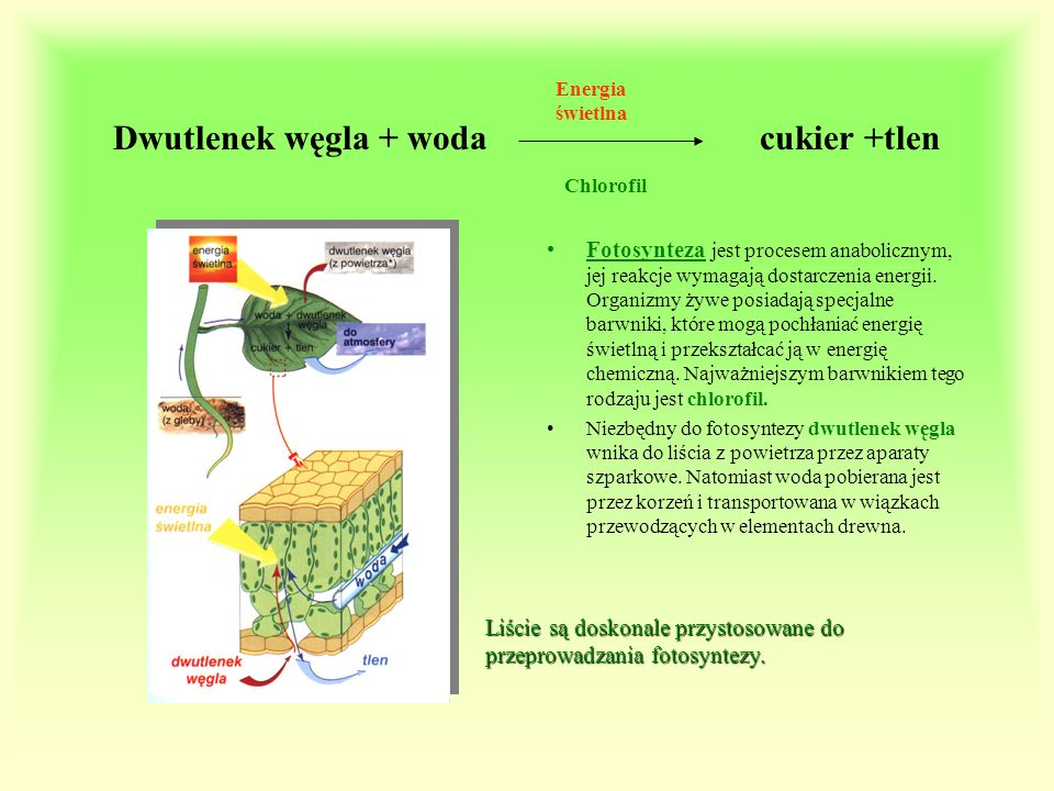 Dwutlenek węgla + woda cukier +tlen Fotosynteza jest procesem anabolicznym, jej reakcje wymagają dostarczenia energii. Organizmy żywe posiadają specja