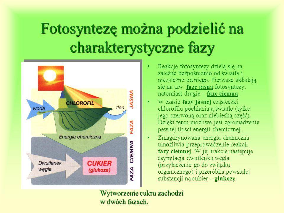 Fotosyntezęmożna podzielić na charakterystyczne fazy Fotosyntezę można podzielić na charakterystyczne fazy Reakcje fotosyntezy dzielą się na zależne b