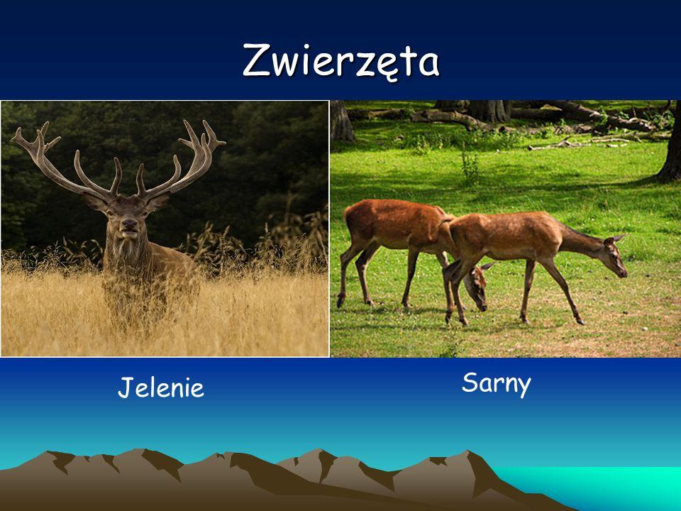Zwierzęta Jelenie Sarny