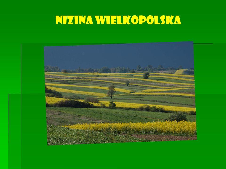 Nizina Wielkopolska jest regionem wybitnie rolniczym, o jednym z najważniejszych w Polsce poziomów rozwoju tego działu gospodarki.
