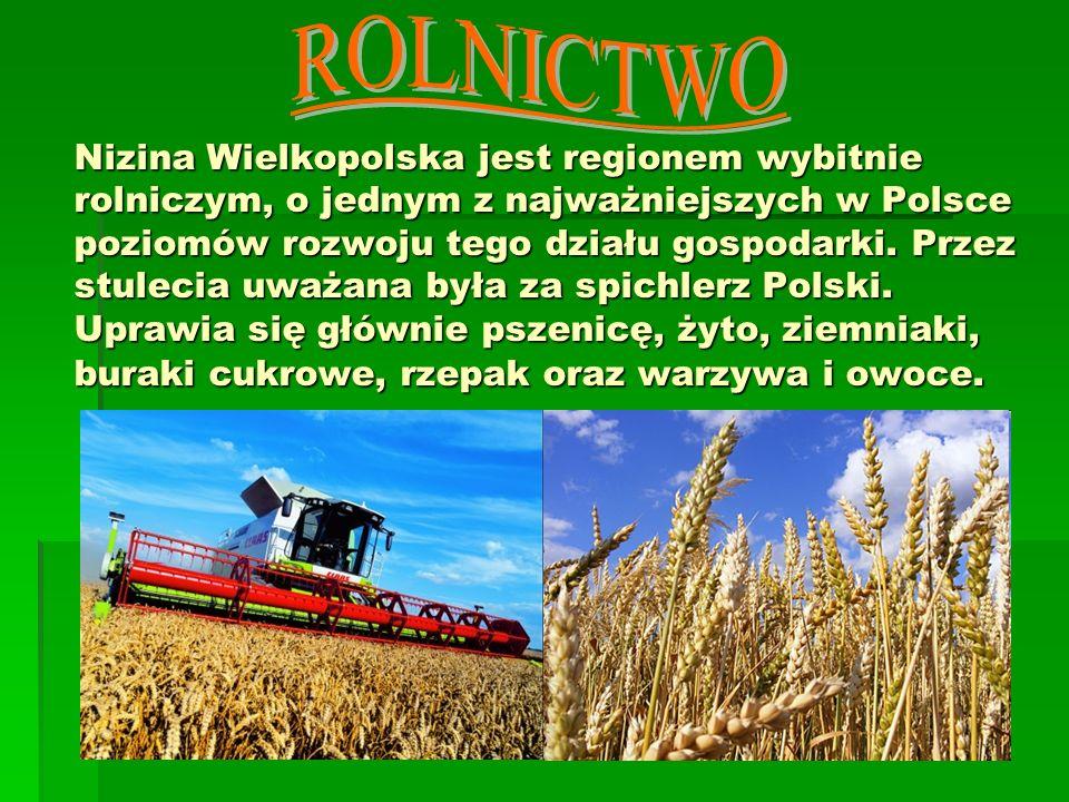 Nizina Wielkopolska jest regionem wybitnie rolniczym, o jednym z najważniejszych w Polsce poziomów rozwoju tego działu gospodarki. Przez stulecia uważ