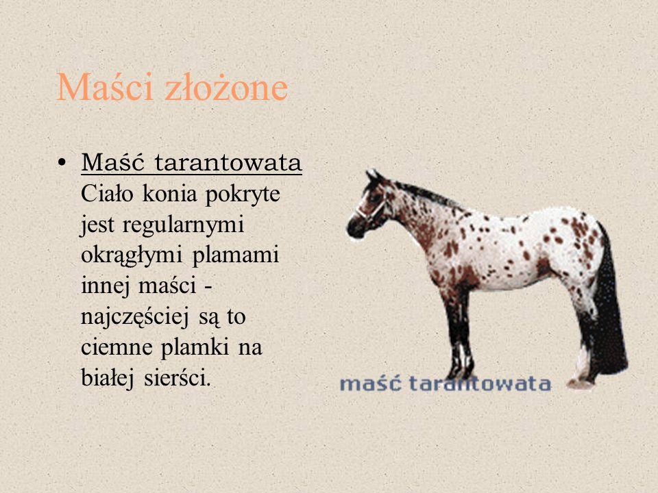 Maści złożone Maść tarantowata Ciało konia pokryte jest regularnymi okrągłymi plamami innej maści - najczęściej są to ciemne plamki na białej sierści.