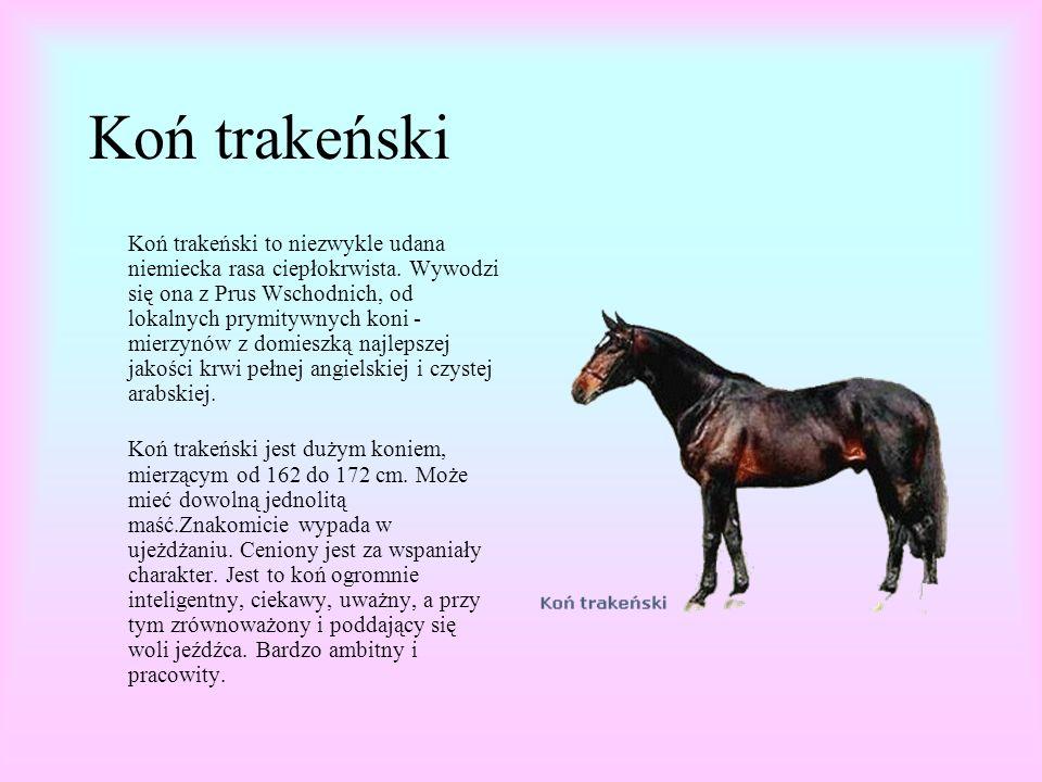Koń trakeński Koń trakeński to niezwykle udana niemiecka rasa ciepłokrwista.