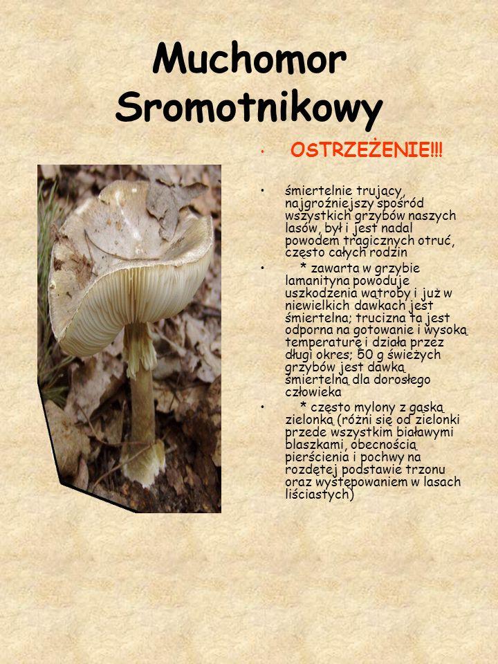 Muchomor Sromotnikowy OSTRZEŻENIE!!! śmiertelnie trujący, najgroźniejszy spośród wszystkich grzybów naszych lasów, był i jest nadal powodem tragicznyc