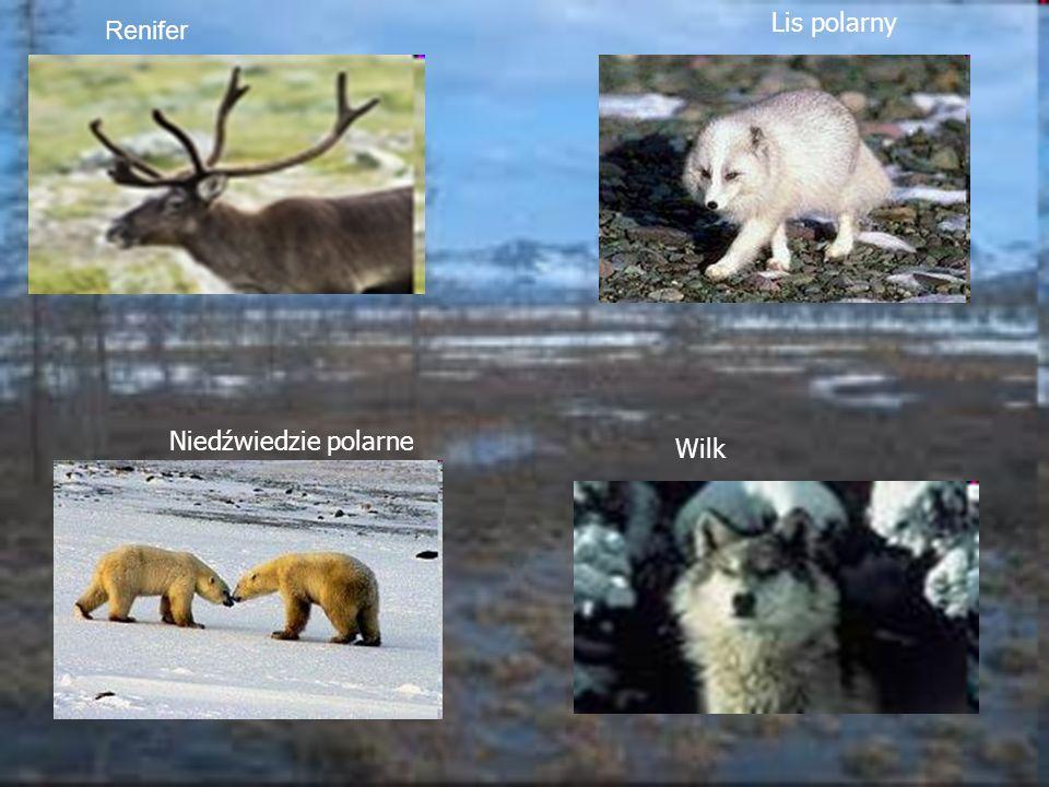Renifer Lis polarny Niedźwiedzie polarne Wilk