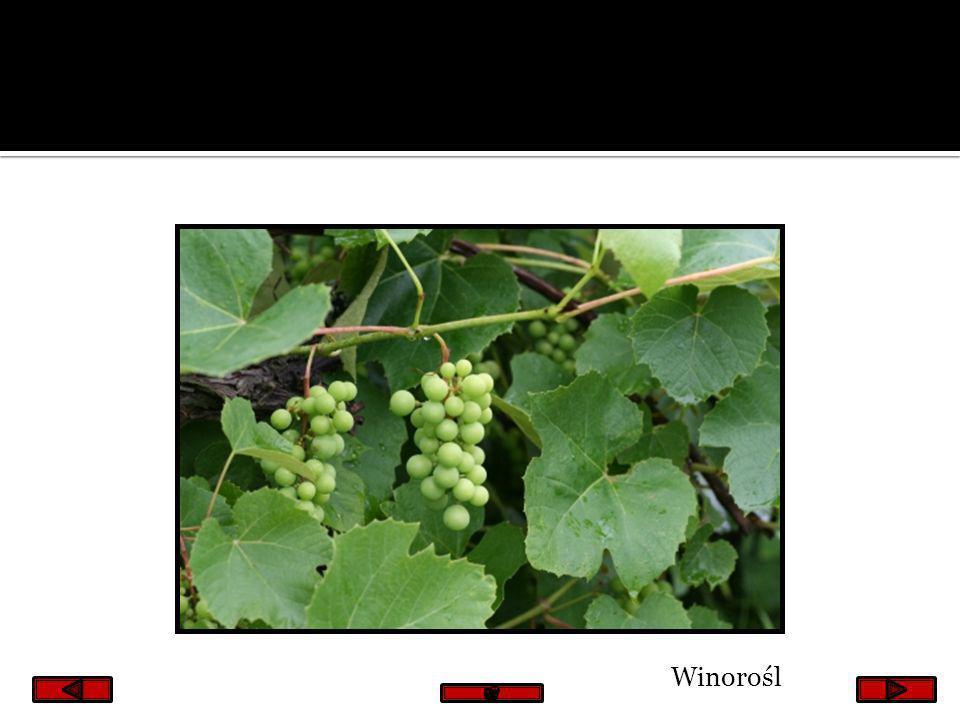 Winorośl
