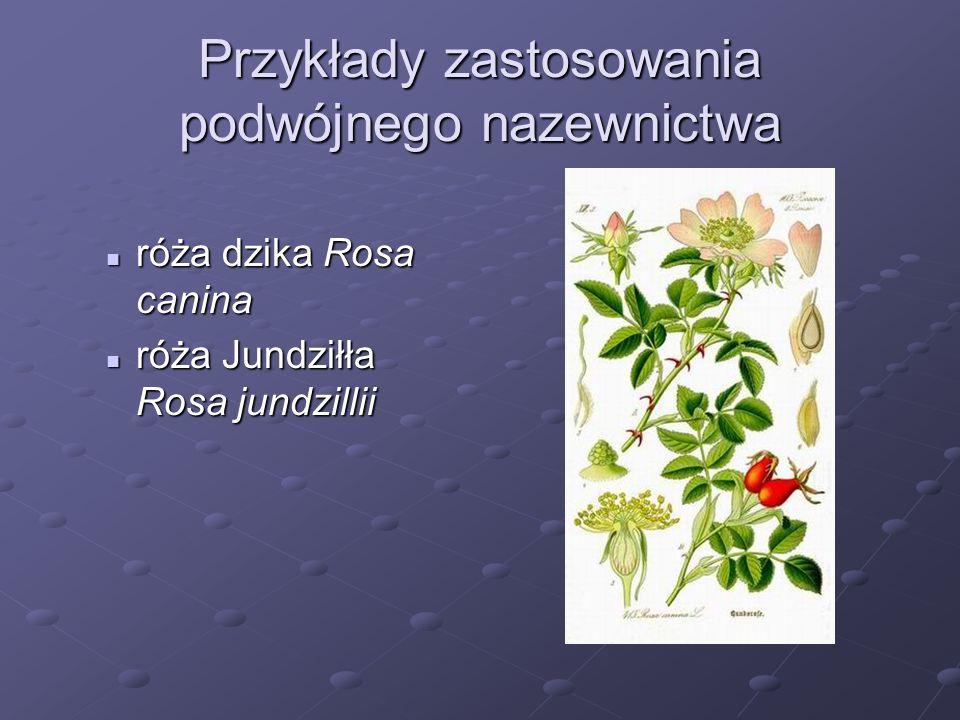 Przykłady zastosowania podwójnego nazewnictwa róża dzika Rosa canina róża dzika Rosa canina róża Jundziłła Rosa jundzillii róża Jundziłła Rosa jundzil