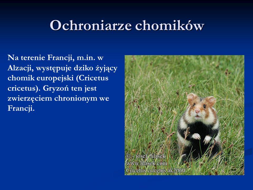 Ochroniarze chomików Na terenie Francji, m.in. w Alzacji, występuje dziko żyjący chomik europejski (Cricetus cricetus). Gryzoń ten jest zwierzęciem ch