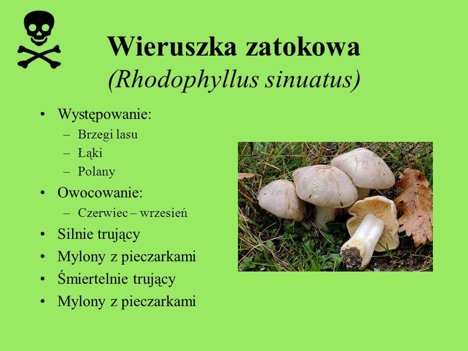 Wieruszka zatokowa (Rhodophyllus sinuatus) Występowanie: –Brzegi lasu –Łąki –Polany Owocowanie: –Czerwiec – wrzesień Silnie trujący Mylony z pieczarka