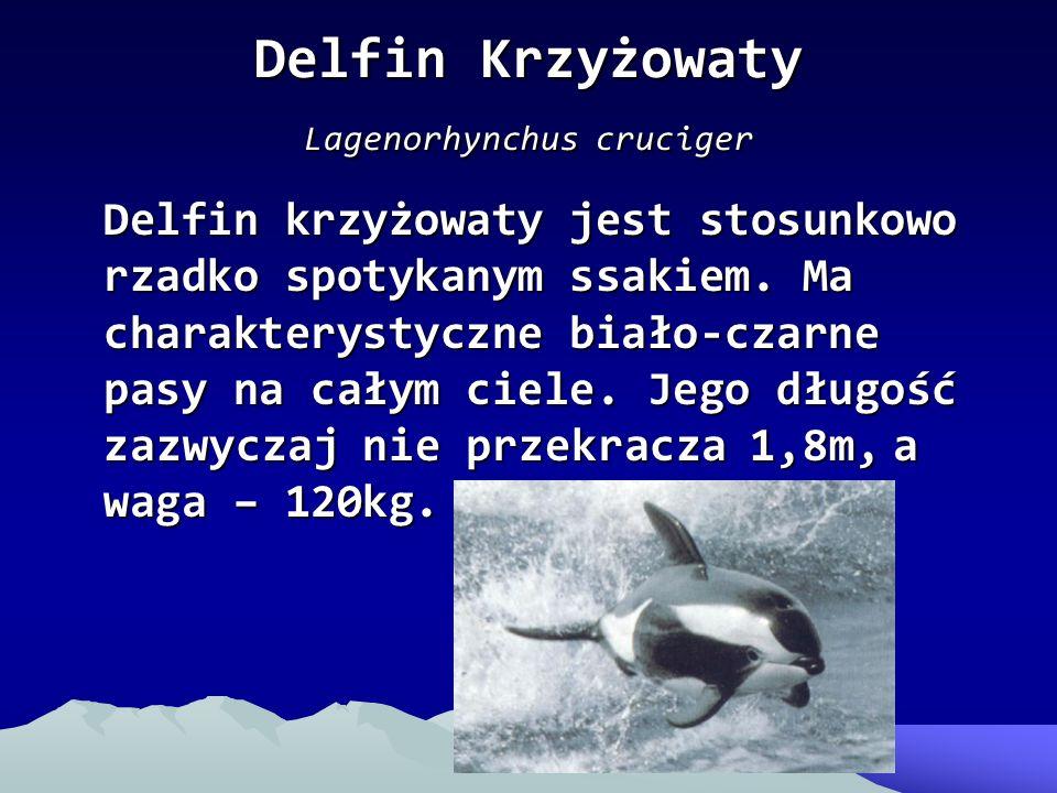 Delfin Krzyżowaty Lagenorhynchus cruciger Delfin krzyżowaty jest stosunkowo rzadko spotykanym ssakiem. Ma charakterystyczne biało-czarne pasy na całym