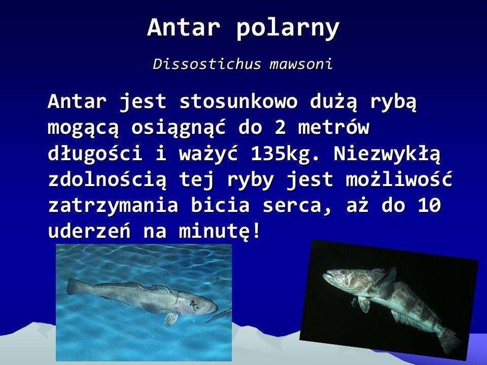 Antar polarny Dissostichus mawsoni Antar jest stosunkowo dużą rybą mogącą osiągnąć do 2 metrów długości i ważyć 135kg. Niezwykłą zdolnością tej ryby j