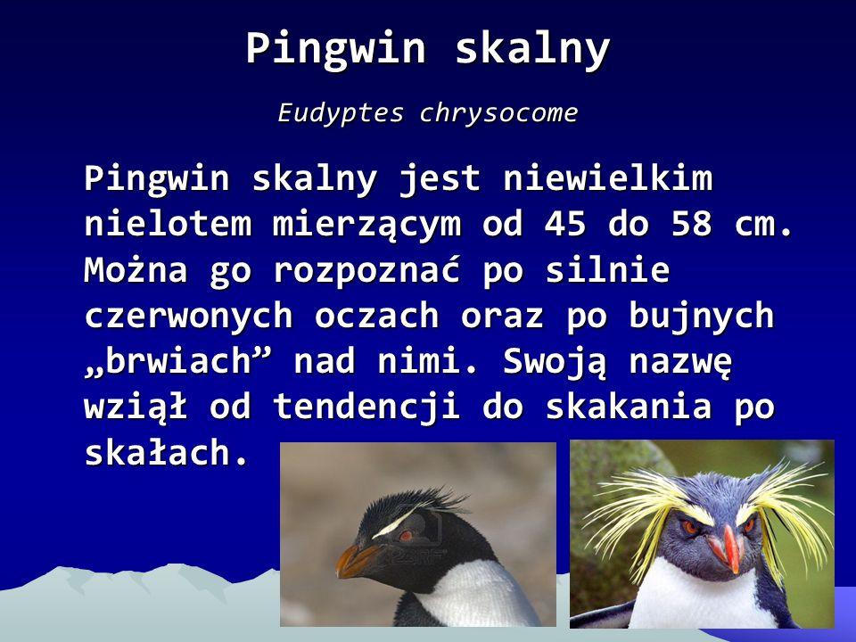 Pingwin skalny Eudyptes chrysocome Pingwin skalny jest niewielkim nielotem mierzącym od 45 do 58 cm. Można go rozpoznać po silnie czerwonych oczach or