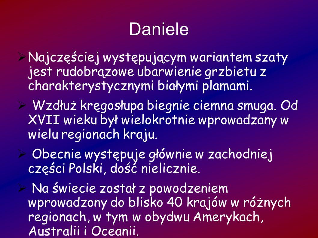 Daniele Najczęściej występującym wariantem szaty jest rudobrązowe ubarwienie grzbietu z charakterystycznymi białymi plamami. Wzdłuż kręgosłupa biegnie