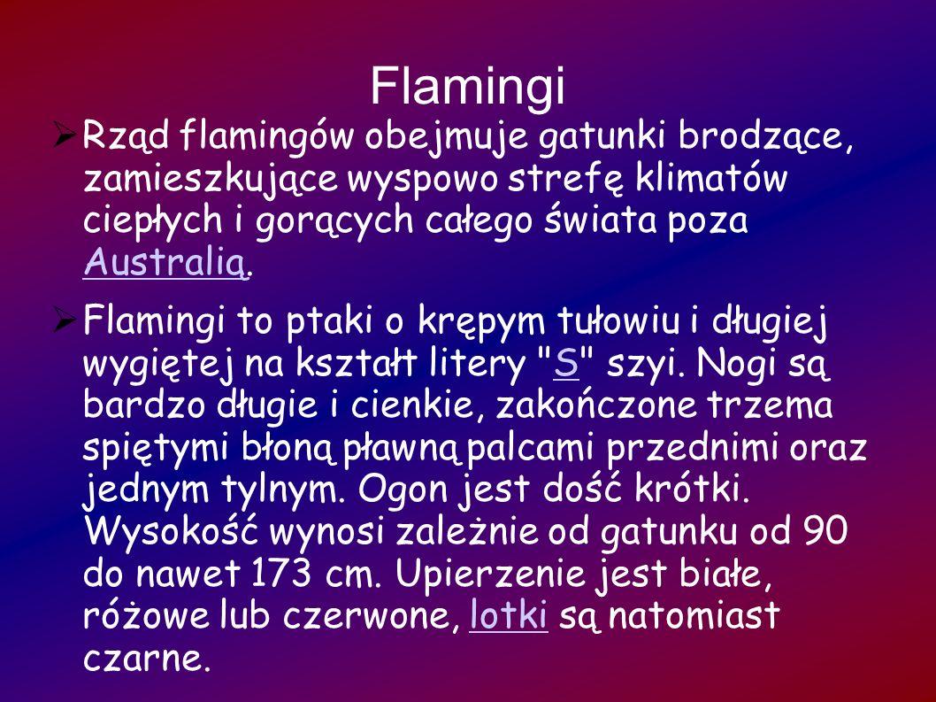 Flamingi Rząd flamingów obejmuje gatunki brodzące, zamieszkujące wyspowo strefę klimatów ciepłych i gorących całego świata poza Australią. Australią F