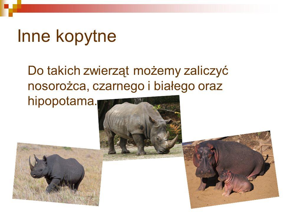 Inne kopytne Do takich zwierząt możemy zaliczyć nosorożca, czarnego i białego oraz hipopotama.