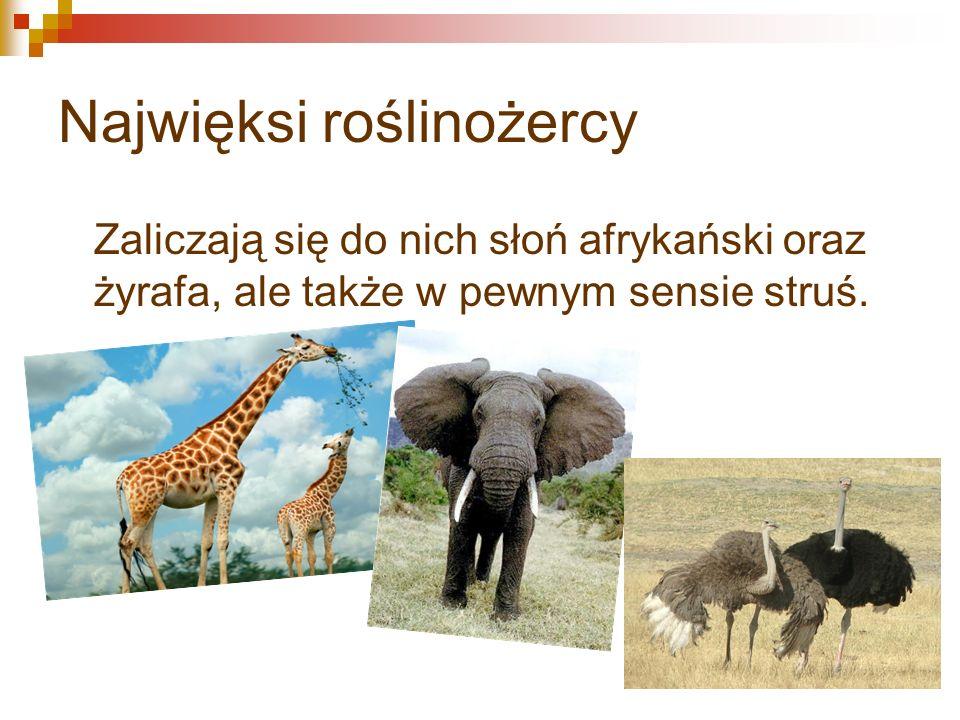 Najwięksi roślinożercy Zaliczają się do nich słoń afrykański oraz żyrafa, ale także w pewnym sensie struś.