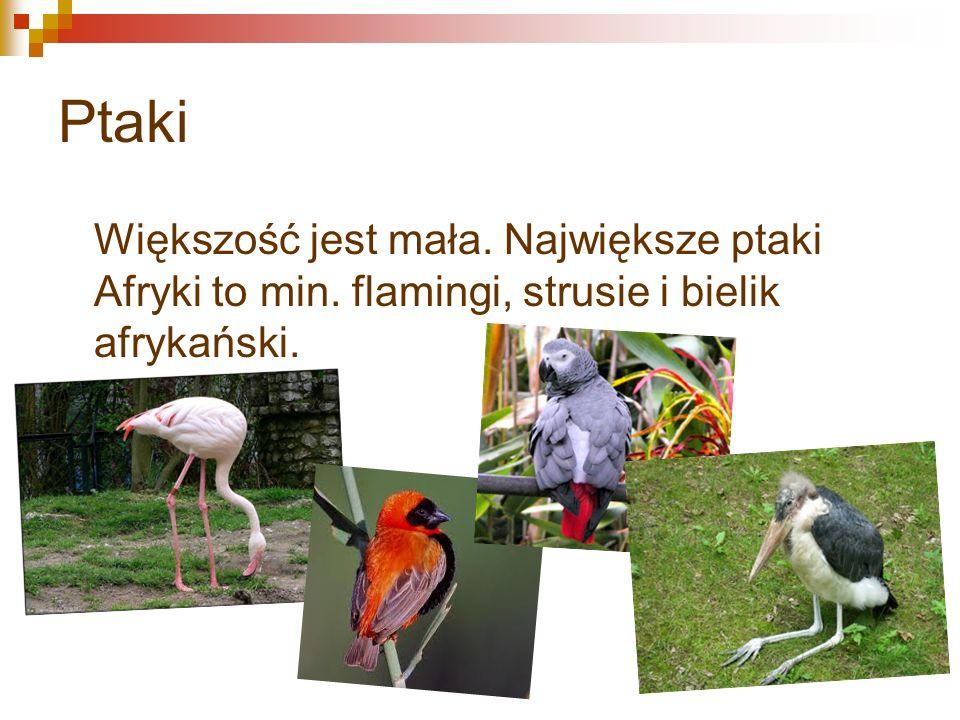 Ptaki Większość jest mała. Największe ptaki Afryki to min. flamingi, strusie i bielik afrykański.